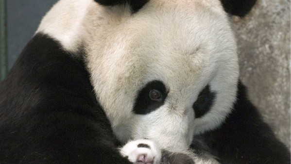 Zoo hoping for baby panda