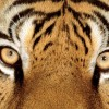 Worrying fall in tiger population