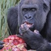 'In the Pink' Gorilla Celebrates 40th Birthday