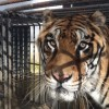 Tiger crosses Atlantic for new home