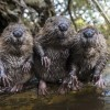 Will beavers help solve UK flooding problems?