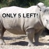 Only Five Northern White Rhino Remain