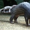 YJA revisits the plight of the pangolin