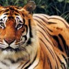 Big Increase in India's Tiger Population