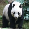 Giant Panda Population on the Rise