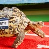 Tortoise Races into Guinness Book of Records