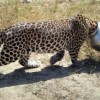 Headache for 'Bowled Over' Leopard