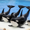 Sea World to stop Killer Whale shows
