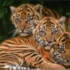 Tiger triplets celebrate first birthday