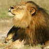 Poisoned and Gunned – Outrage over Lion Killings