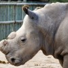 Will fake horns help the rhinos?