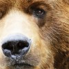 Grizzly bear attack in the US