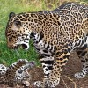 Jaguars under threat