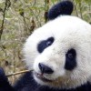 Why are Pandas Black and White?