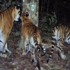 Population Boost for Rare Tiger