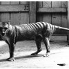 Is the Tasmanian Tiger back from the Dead?